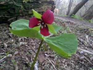 Scarlet Trillium