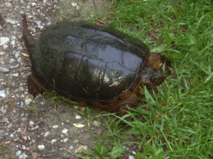 Snapping Turtle~Sunnybrook~May 2013